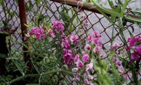 drought resistant perinnials for illinois perennial sweet pea lathyrus latifolius
