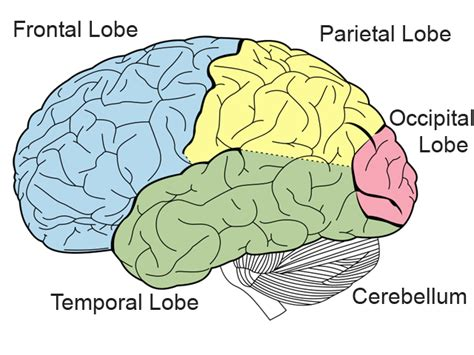 brain diagram lobes brain structure neuroscience education