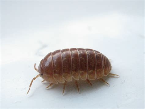 do bed bugs live in wood wood bugs related keywords wood bugs long tail keywords keywordsking