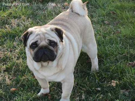 akc pug masse s pudgy pugs akc registered pugs puppies available fawn pug for sale
