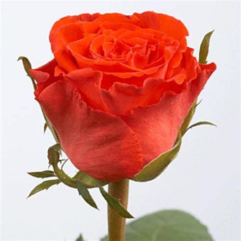 imagenes de rosa y mas ranking de las flores mas bonitas del mundo listas en
