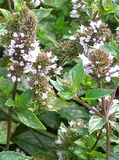 Mata Sk2 l 233 芻iv 233 rostliny