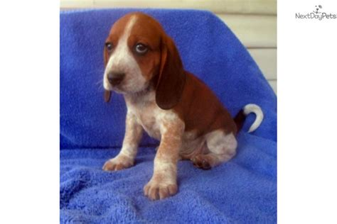 tick beagle puppies for sale beagle pup breeds picture
