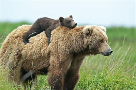 Imagenes De Osos Wallpaper | 26 fondos de pantalla del oso pardo wallpapers de osos en hd