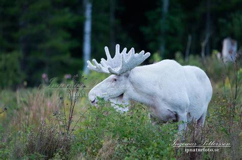 Und Bilder by Unika Bilder P 229 Vit 228 Lg Som Har Leucism Ipnaturfoto
