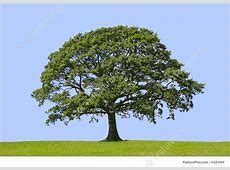 Photo Of Oak Tree, Symbol Of Strength Oak Leaf Pictures Clip Art