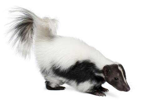 skunk smell in the house how to get rid of skunk smell in house