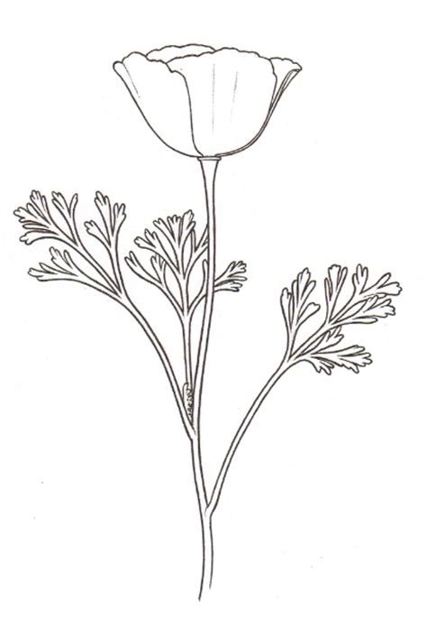 california poppy drawing related keywords california