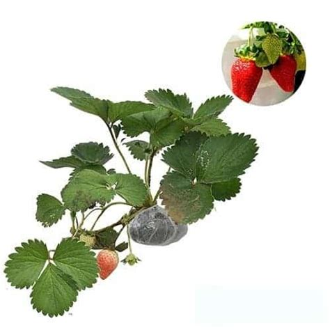 Jual Bibit Strawberry Bandung jual tanaman strawberry california bibit