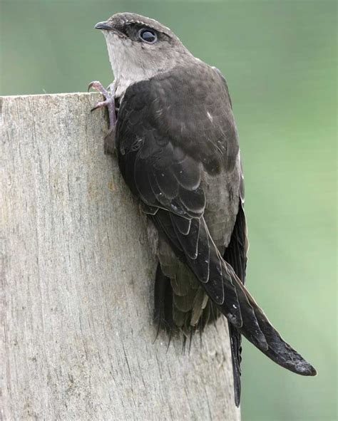 Small American Cities by Chimney Swift Audubon Field Guide