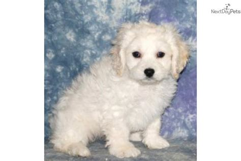 puppies for sale in nh new hshire directory and puppies for sale o puppy auto design tech