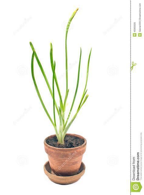 cipolle in vaso giovane pianta di cipolla in vaso fotografia stock