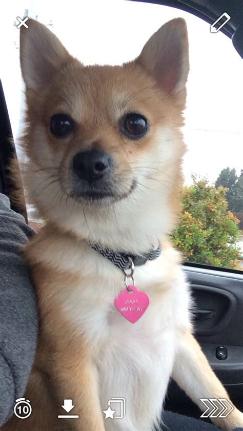 mix pomeranian pomeranian chihuahua mix breeds picture