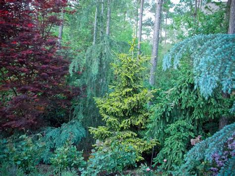 139 best conifer conehead images on pinterest landscaping ideas evergreen garden and patio plants
