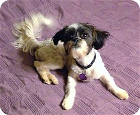 shih tzu savvy breed havanese tips breeds picture