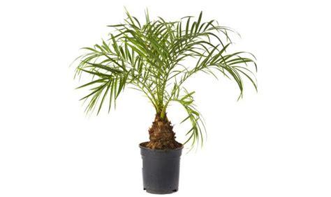 variedades belen palmera de roebelen hogarmania