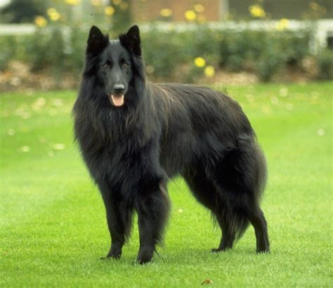 shepherd dogs belgian shepherd groenendael pictures wallpapers9