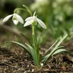 species of uk week 7 common snowdrop galanthus nivalis
