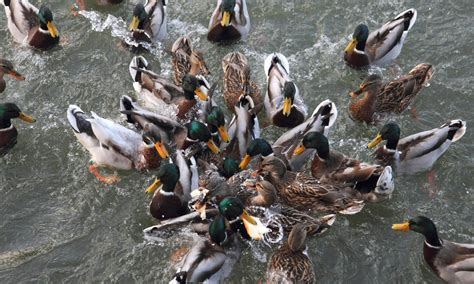 don t feed the ducks bread say conservationists