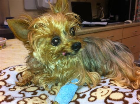 yorkie knee surgery from dr vince s desk the animal clinic