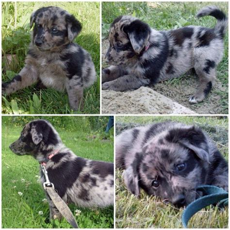 lab mix puppies for sale in michigan aussie lab mix puppies for sale in michigan breeds picture