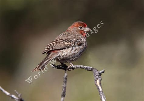 carpodacus mexicanus house finch male 4630 c andy