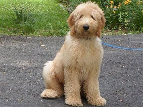 f1 goldendoodle puppies goldendoodles puppies available tlc by the lake standard poodles doodles