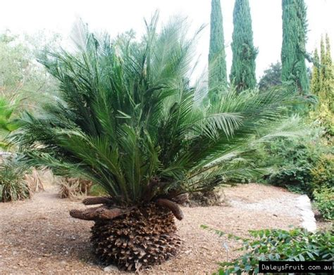 Wholesale Fruit Trees - burrawang tree macrozamia communis