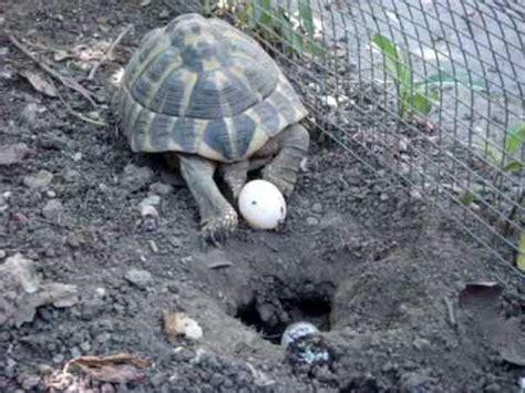 gabbia per tartarughe di terra tartaruga depone uova