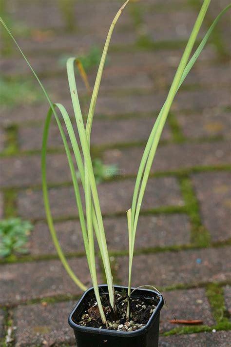 Junder Iris iris lactea
