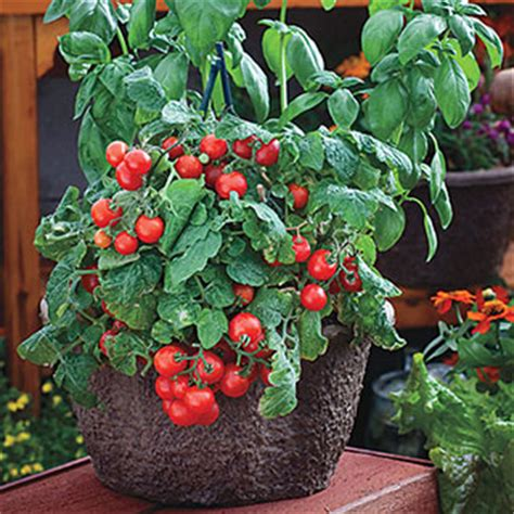red robin tomato seeds  park seed