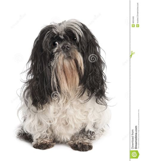 tibetan names for shih tzu tibetan terrier shih tzu stock image images royalty free photo breeds picture
