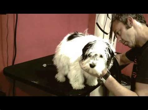 how to a havanese not to bark alfie the havanese groomed bishops bark