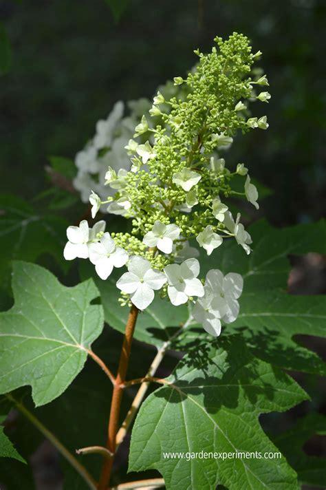 Beautiful, Large Blooms of the Oak Leaf Hydrangea Shrub Oak Leaf Hydrangeas In Winter