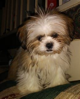 shih tzu allergy free shih tzu allergies the shih tzu information center
