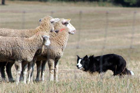 sheep herding dogs sheepdog trial