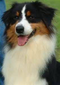 tri colored australian shepherd skhs australianshepherds home
