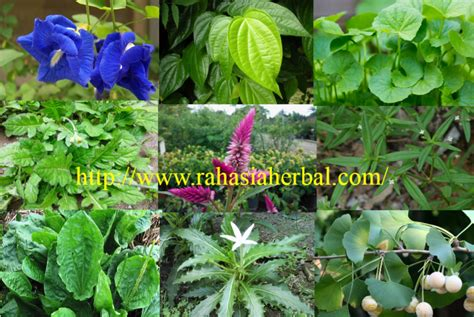 tanaman obat tradisional katarak rahasia herbal