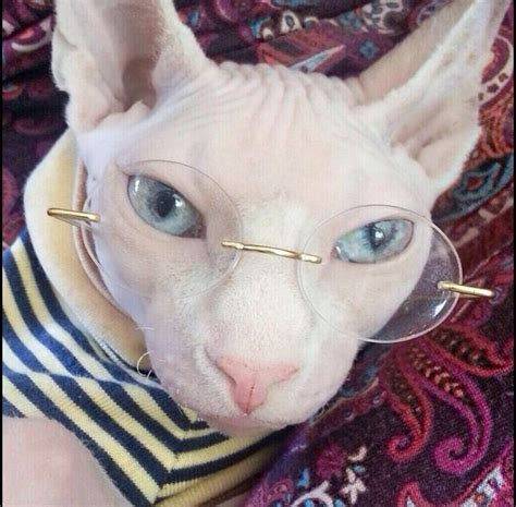 Seshila Sweater tater tot sphynx cat sphynx cat tater tot