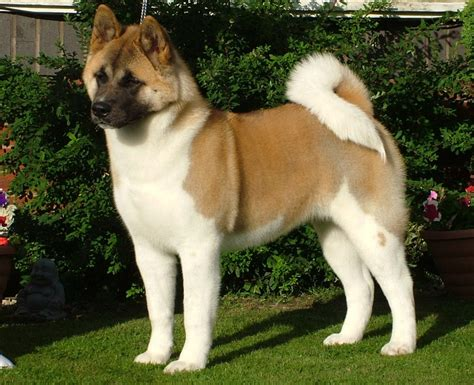 pictures of akita puppies image gallery japanese akita breed
