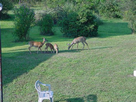 Backyard Deer backyard deer pictures