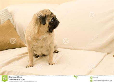 pug on couch cute pug on couch stock images image 7280234