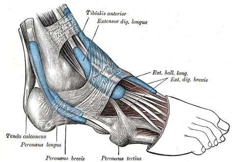 running shoes for peroneal tendonitis peroneal tendonitis in runners running research junkie