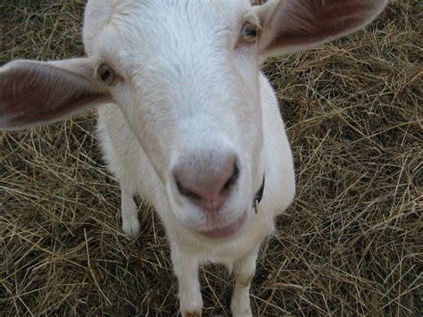 get your goat rentals how to rent out your goats insteading