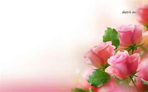 galeri  wallpaper gambar bunga mawar merah muda