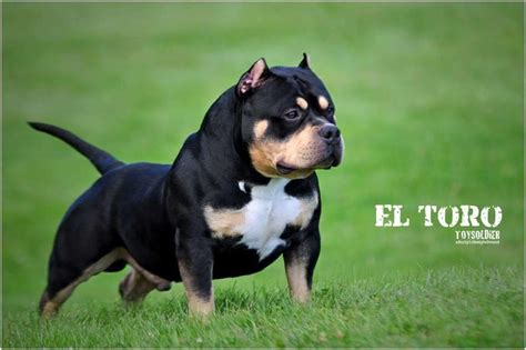 tri color pitbulls for sale history of the tri colored pit bull american bully