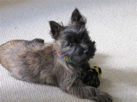 cairn terrier mix puppies for sale large cairn terrier puppies for sale dogs our friends photo