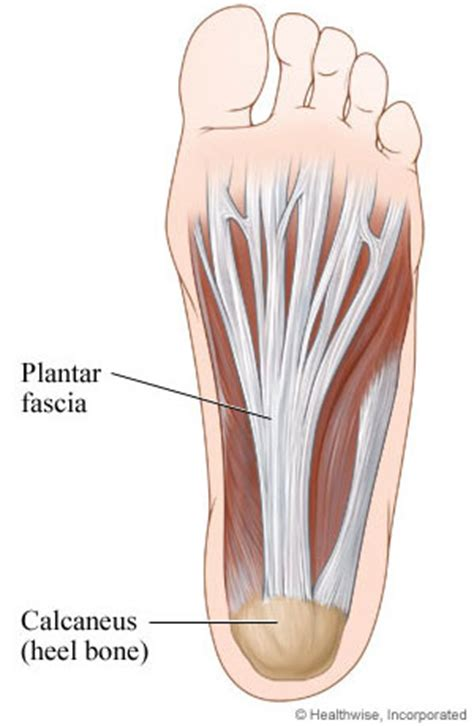 plantar fasciitis diagram plantar fascia bottom view