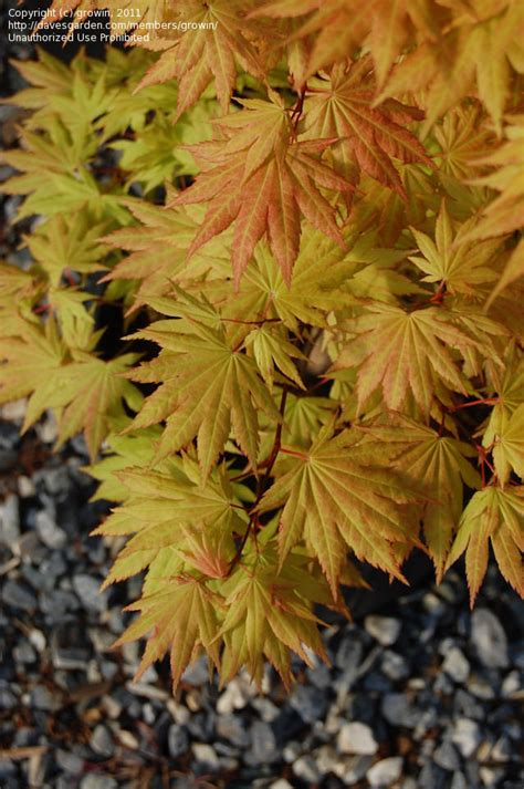 plantfiles pictures full moon maple japanese maple