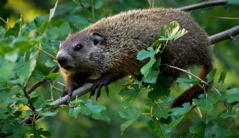 groundhog in my backyard how the groundhog in my yard is my companion animal